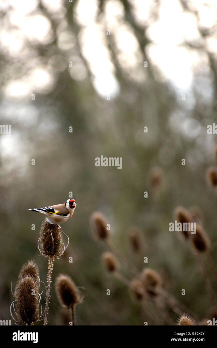 Goldfinch feeding on thistle - Stock Image