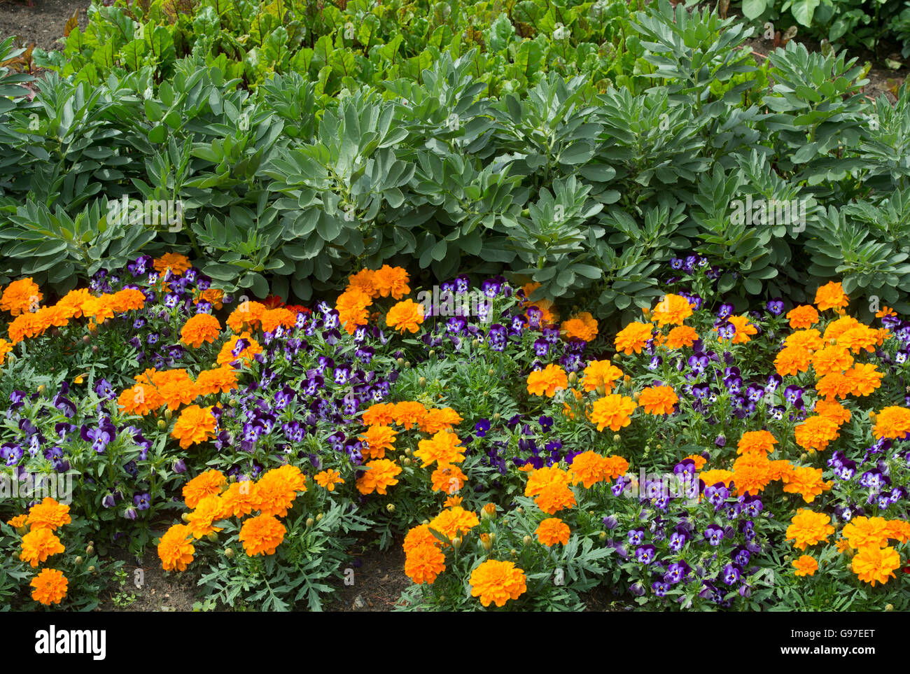 Marigolds and violets planted in a vegetable garden border. UK - Stock Image