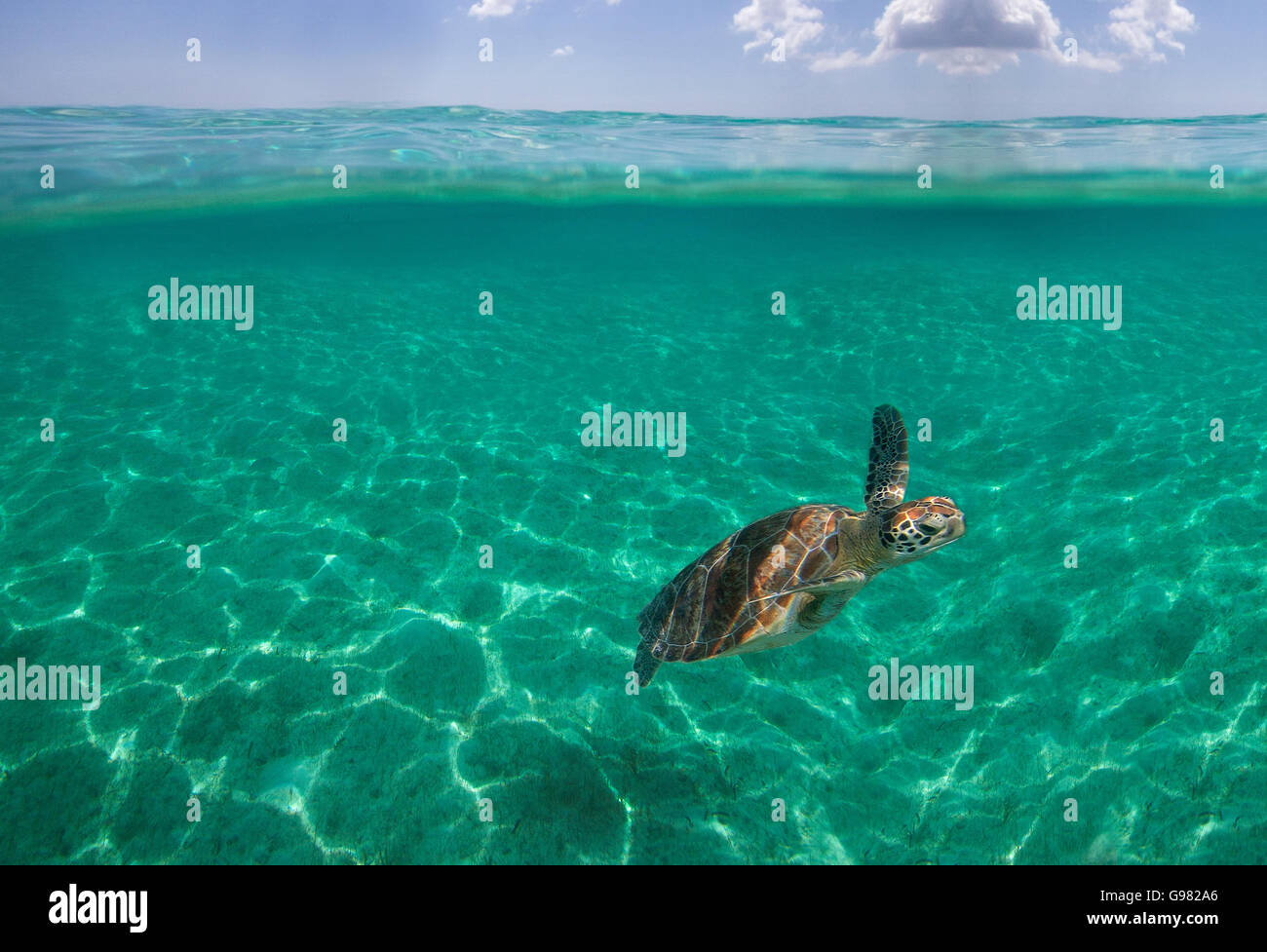 Marine Turtle swiming - Stock Image