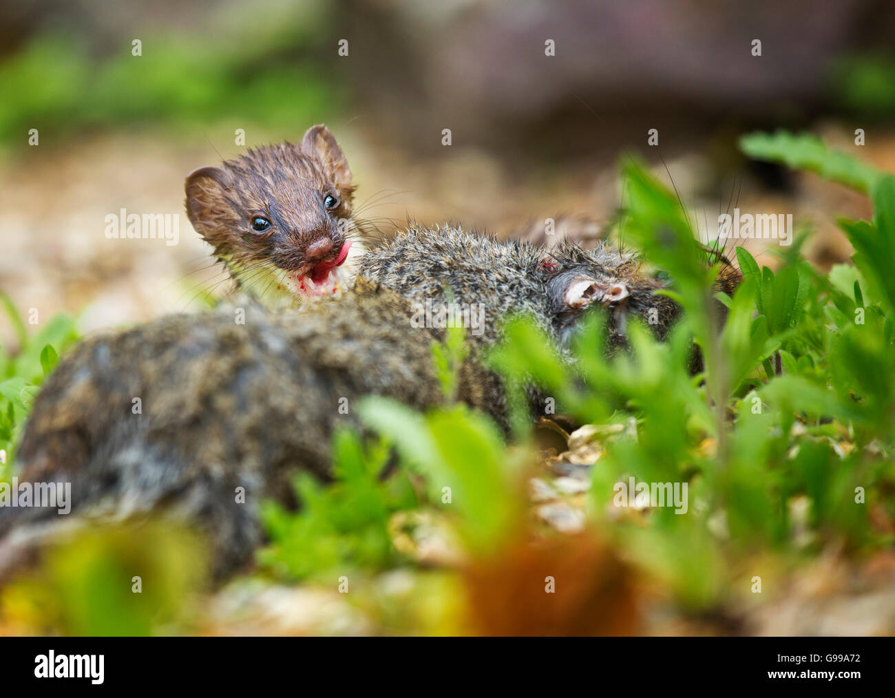 Stoat (Mustela erminea) feeding Stock Photo
