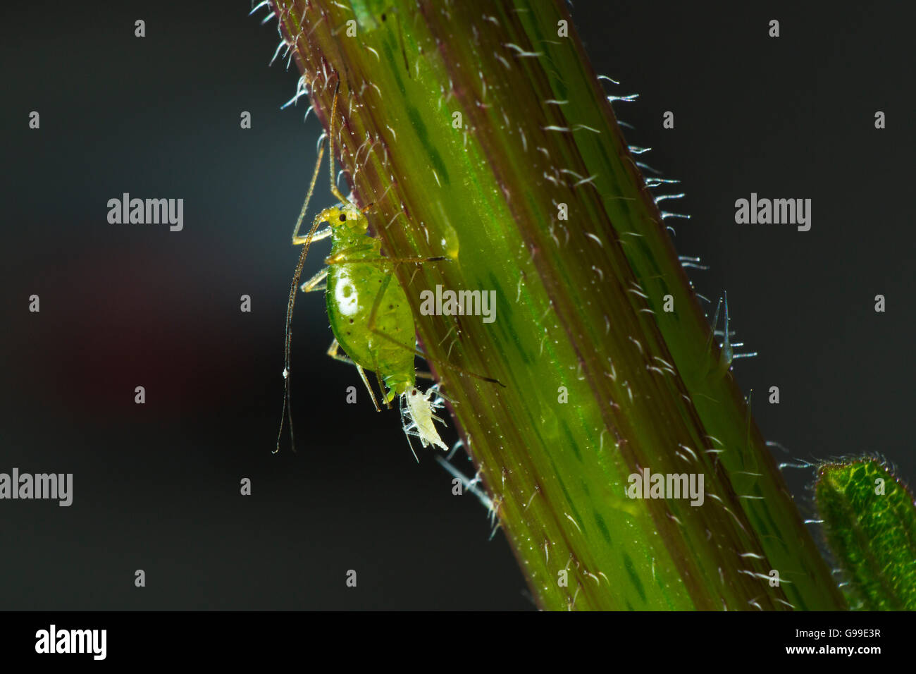 Common Nettle Aphid Microlophium carnosum reproducing - Stock Image