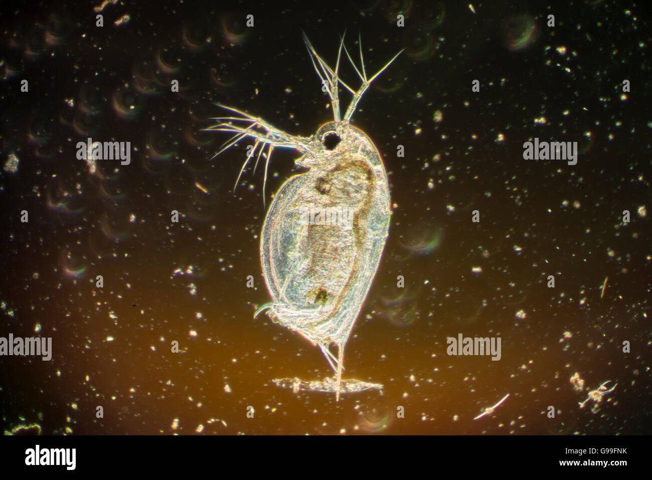 Daphnia, a genus of small planktonic crustaceans, are 0.2–5 millimetres (0.01–0.20 in) in length. Daphnia are members - Stock Image