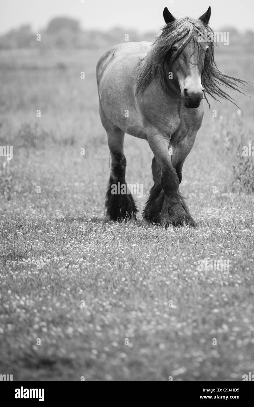 Black And White Photo Of Wild Horses Out In The Open Stock Photo Alamy