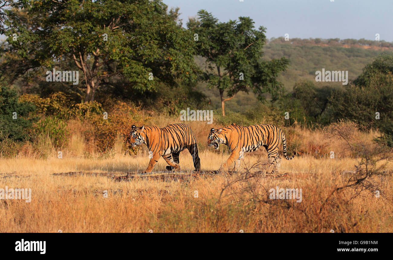 Two Royal Bengal tigers in the Forest, the mother snarls at her cub - Stock Image