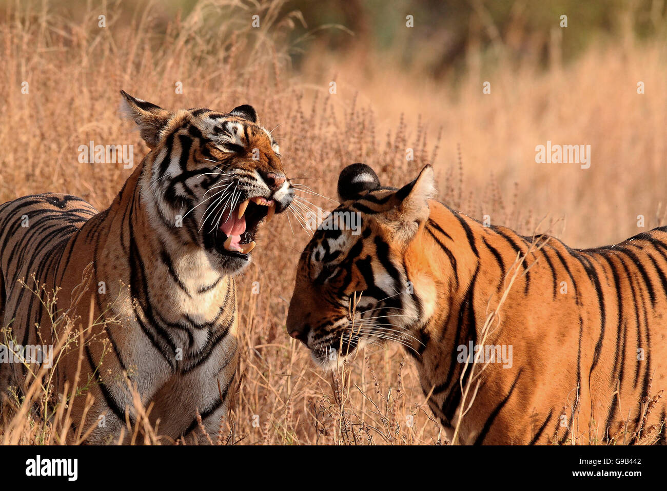 Angry Royal Bengal Tigress snarling at her sub adult cub - Stock Image