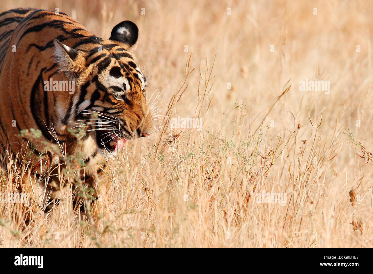 Snarling Royal Bengal Tiger - Stock Image