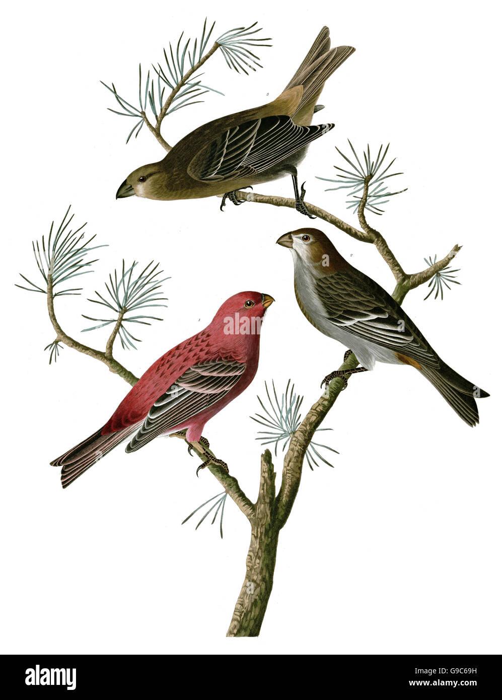 Pine Grosbeak, Pinicola enucleator, birds, 1827 - 1838 - Stock Image