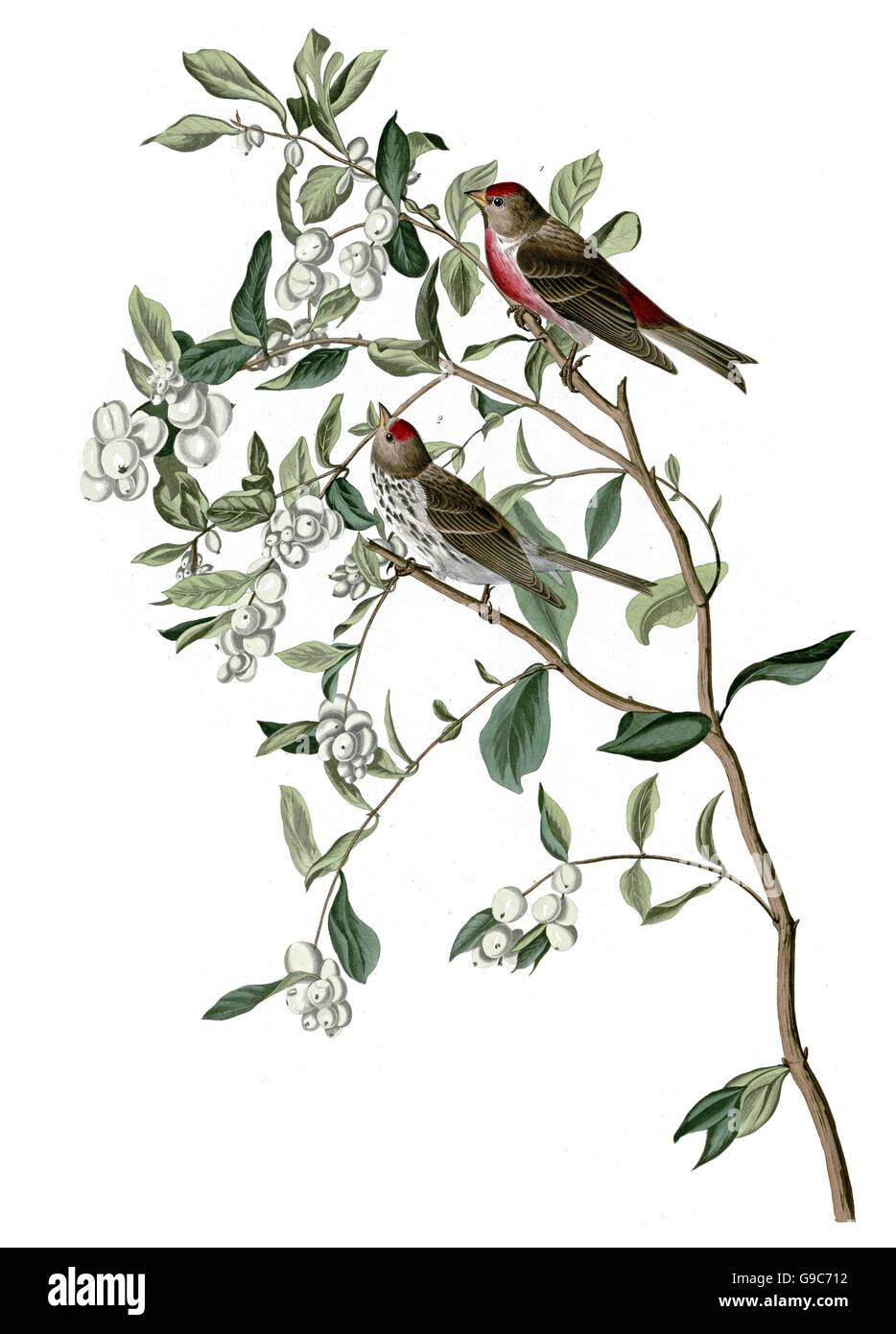 Common Redpoll, Carduelis flammea, birds, 1827 - 1838 - Stock Image