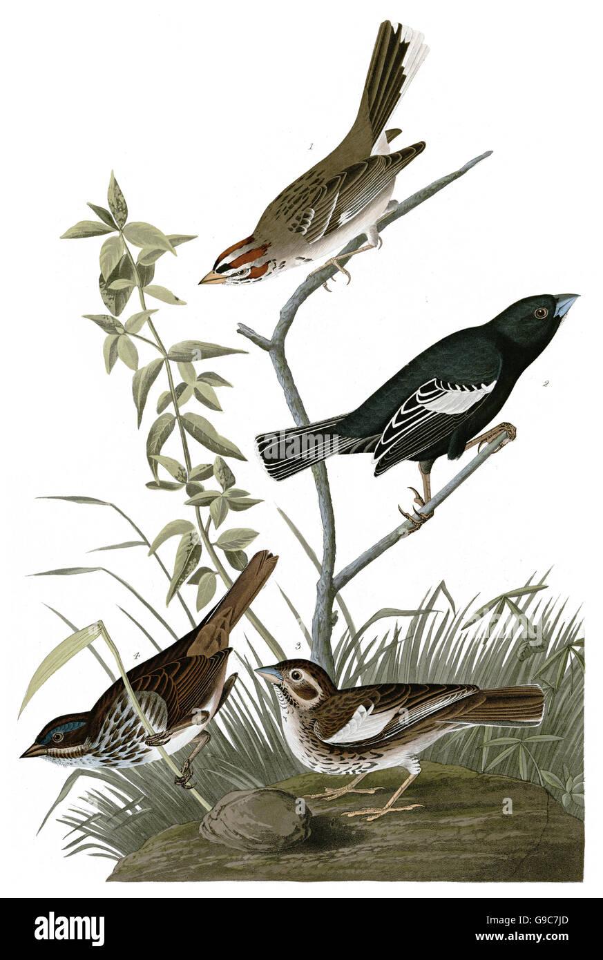 1 Lark Bunting, Calamospiza melanocorys, 2 Song Sparrow, Melospiza melodia, 3 Lark Sparrow, Chondestes grammacus, - Stock Image