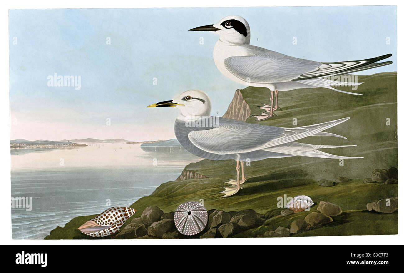 1 Forster s Tern, Sterna forsteri, 2 Trudeau s Tern, Sterna trudeaui, birds, 1827 - 1838 - Stock Image
