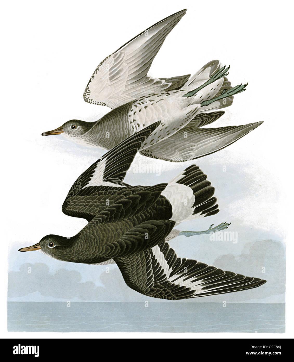 Surfbird, Aphriza virgata, birds, 1827 - 1838 - Stock Image