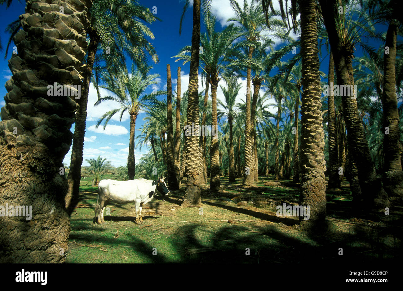 Dates Plantation in of the town and Oasis of Farafra in the lybian or western desert of Egypt in north africa - Stock Image