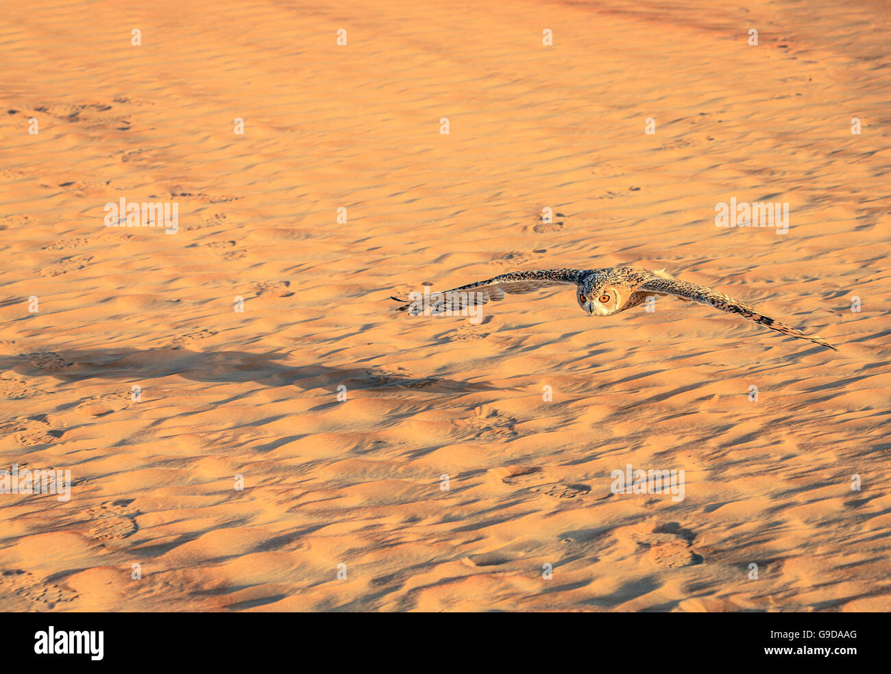 Desert Eagle Owl flying over dunes of Dubai Desert Conservation Reserve, UAE - Stock Image
