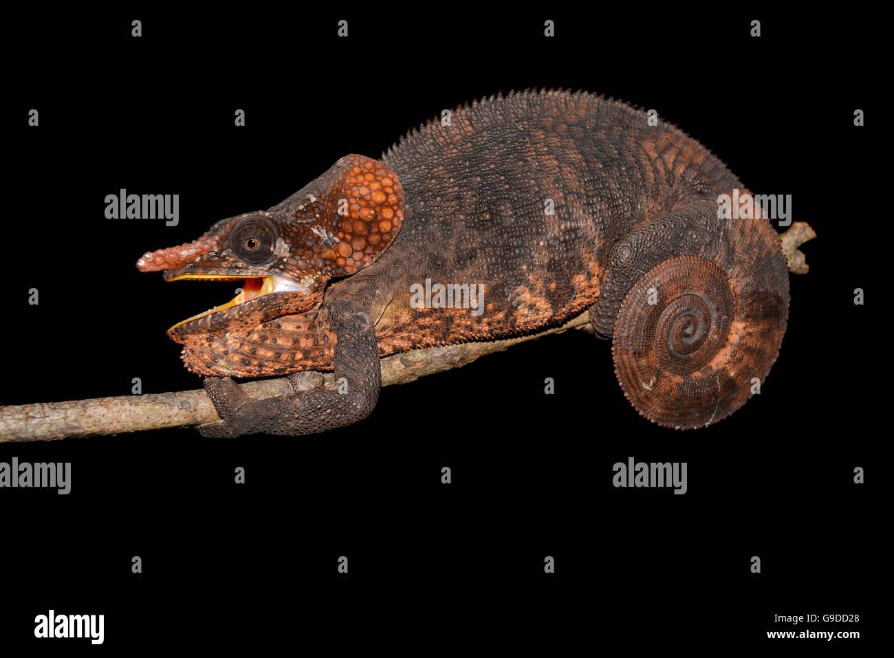 Male short-horned chameleon (Calumma brevicornis), rainforest of Andasibe, Andasibe-Mantadia-National Park, eastern - Stock Image