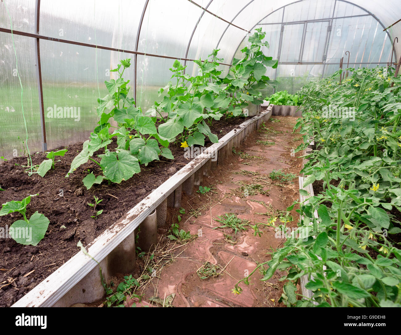 Cucumbers and tomatoes. Growing in a greenhouse for sale 36