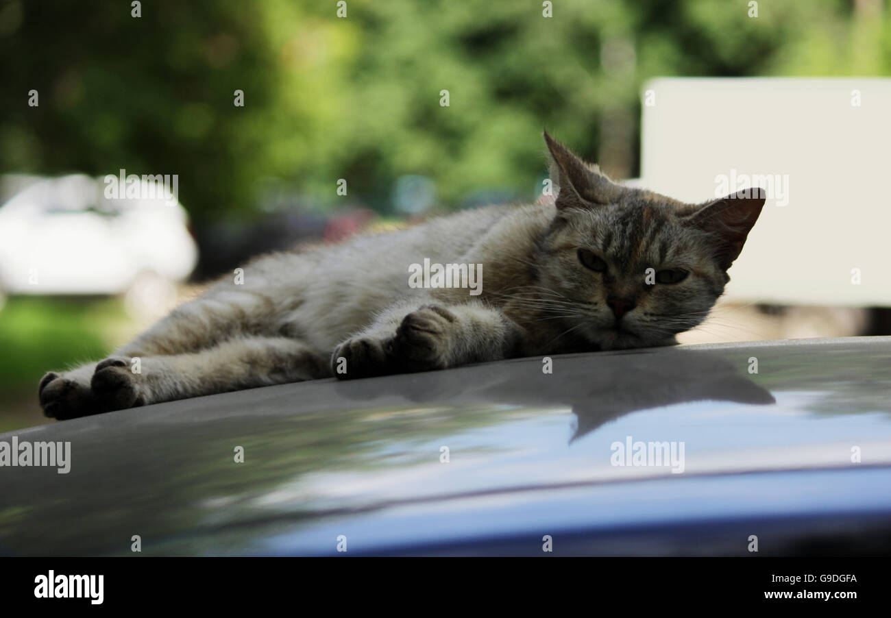gray stray cat lying in the shade on the roof of the car and is hiding from the hot summer sun - Stock Image