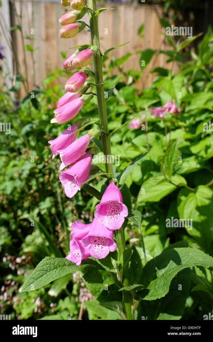 Pink Foxglove Flowers Stock Photo 109093503 Alamy