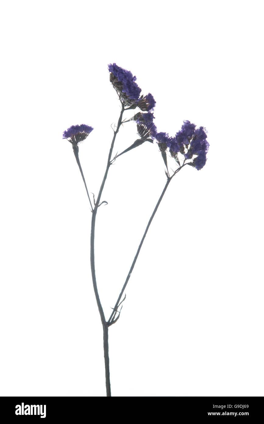 Limonium sinuatum Statice Salem flower isolated on white background - Stock Image