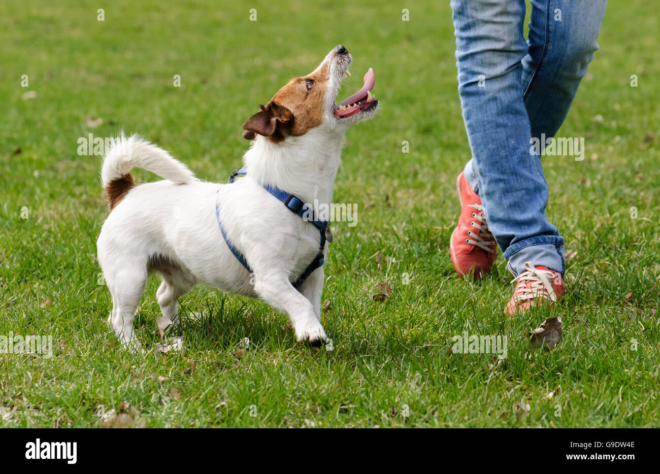 Obedient dog doing walking exercise with owner - Stock Image