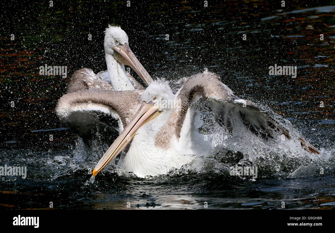 Eurasian Dalmatian pelican ( Pelecanus crispus) vigorous flapping action in a lake Stock Photo