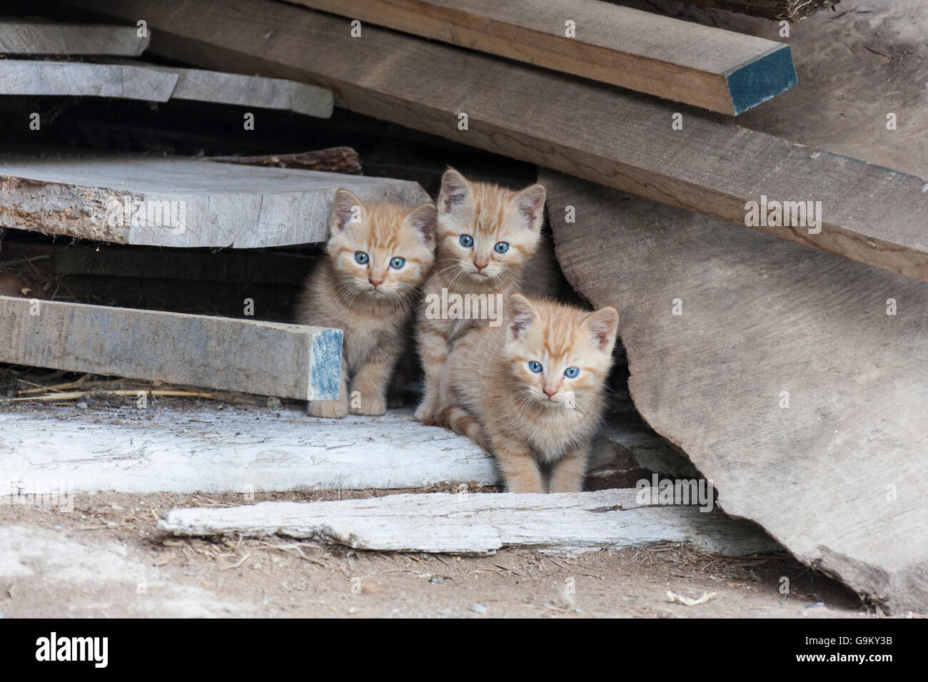 Ginger kittens - Stock Image