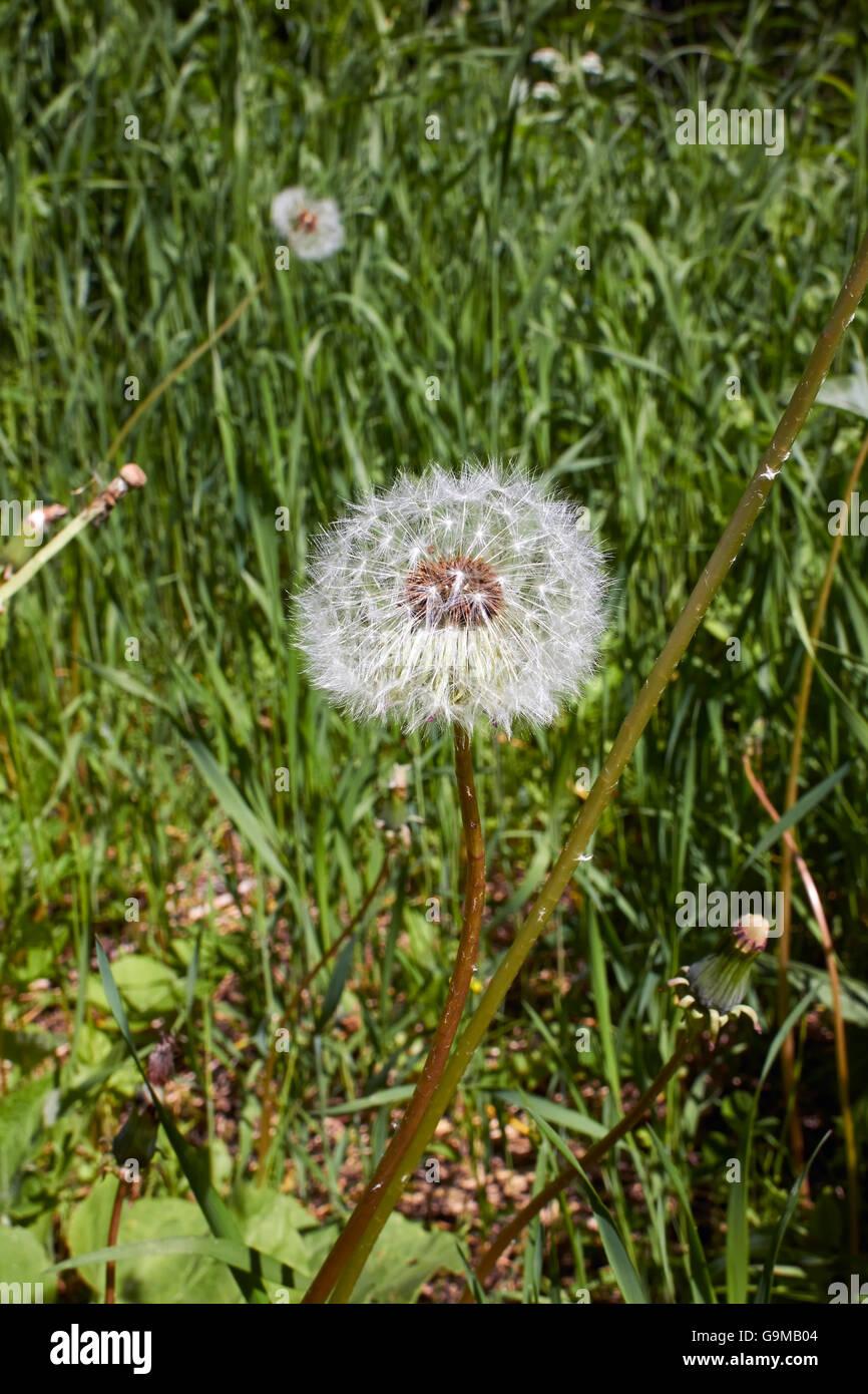 dandelion seedhead - Stock Image