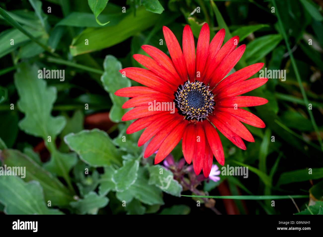 Gerbera, perhaps an African Daisy, an Asteraceae. - Stock Image