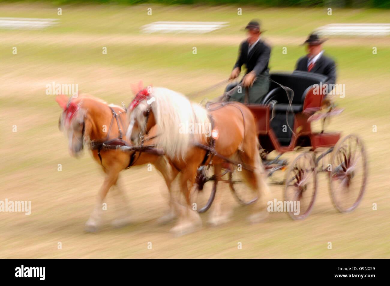Haflinger Horses, Horse Driving / pair of horses, collar Stock ...