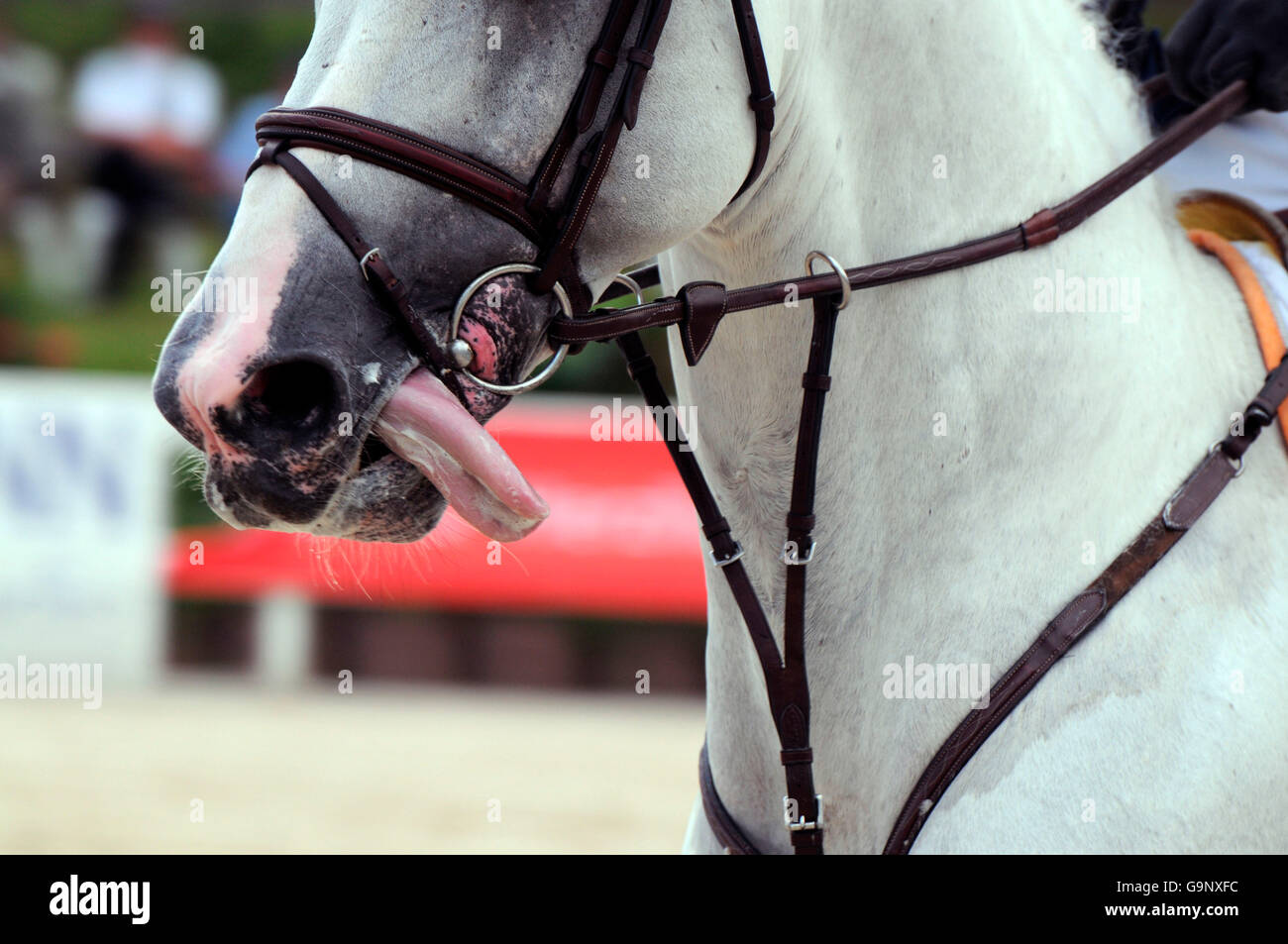 German Warmblood Horse Show Jumping Horse Tack Figure 8 Noseband Stock Photo Alamy