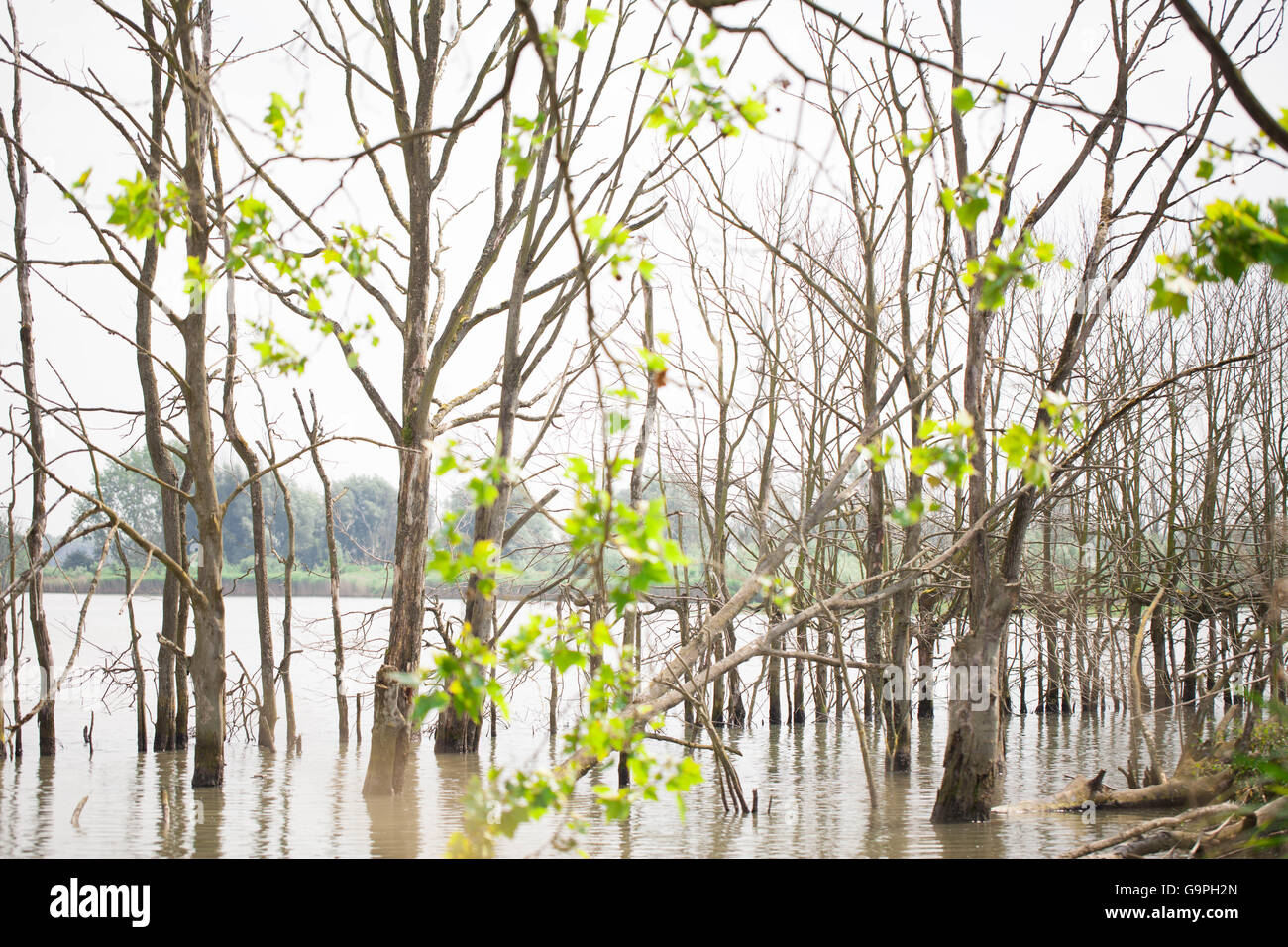 Lakeside trees coming out of the water - Stock Image