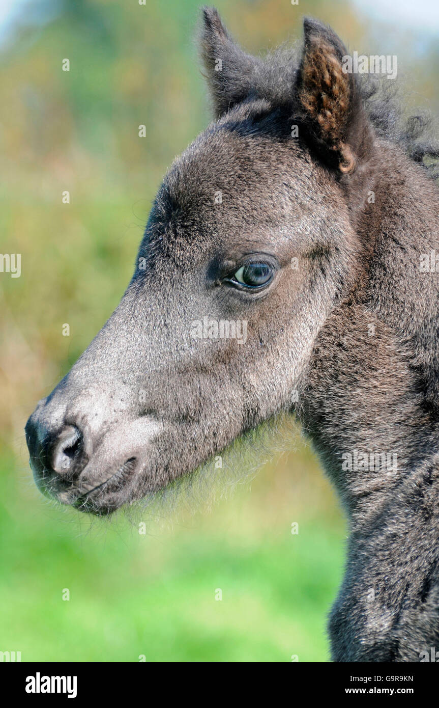Icelandic Horse, foal / colt - Stock Image
