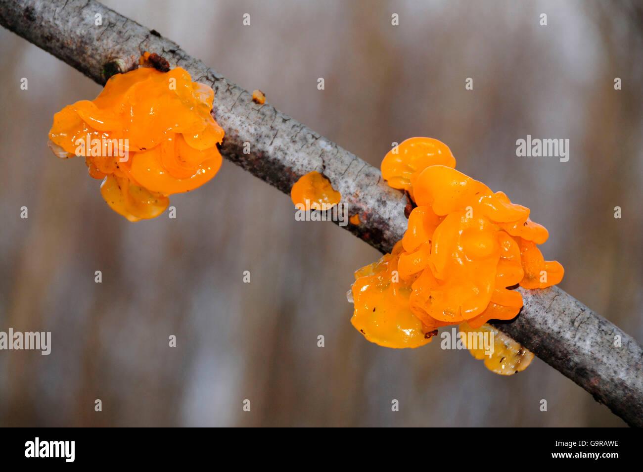 Golden Jelly Fungus / Tremella mesenterica - Stock Image