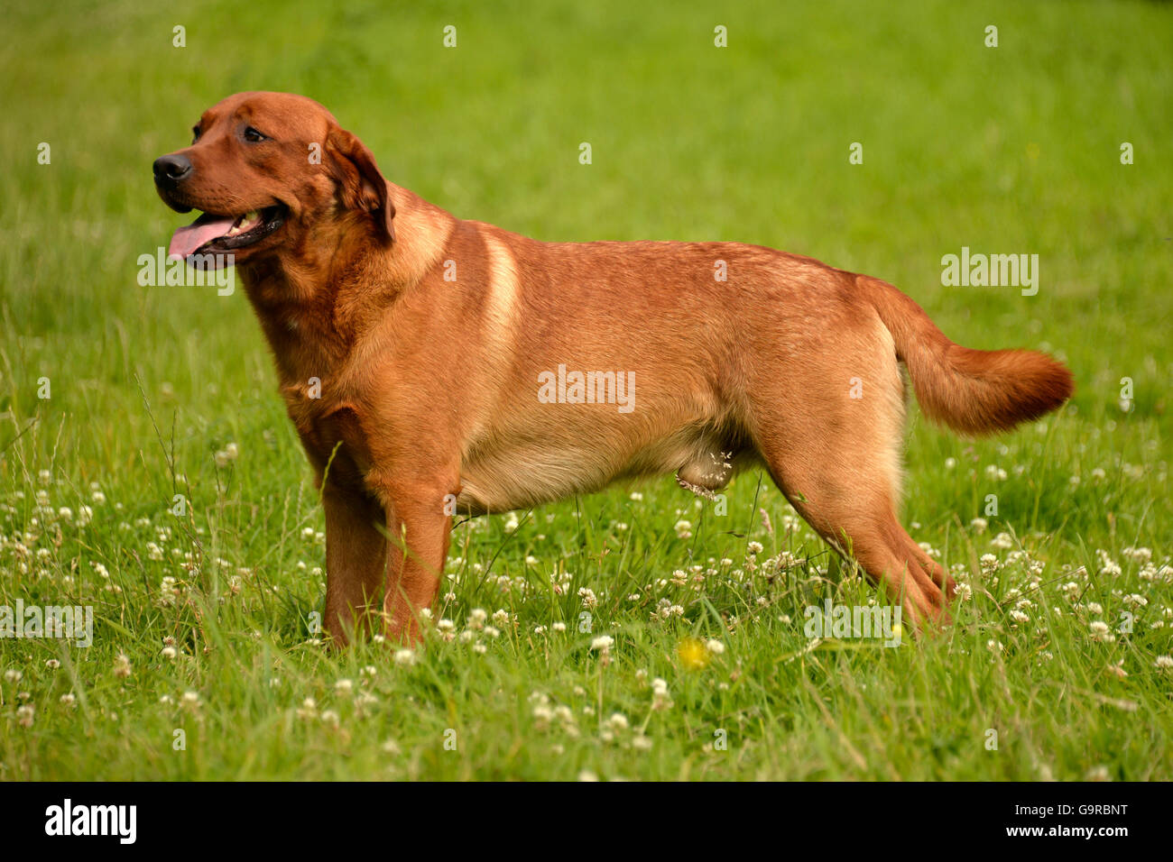 Labrador Retriever, yellow, male dog, adult / fox red - Stock Image