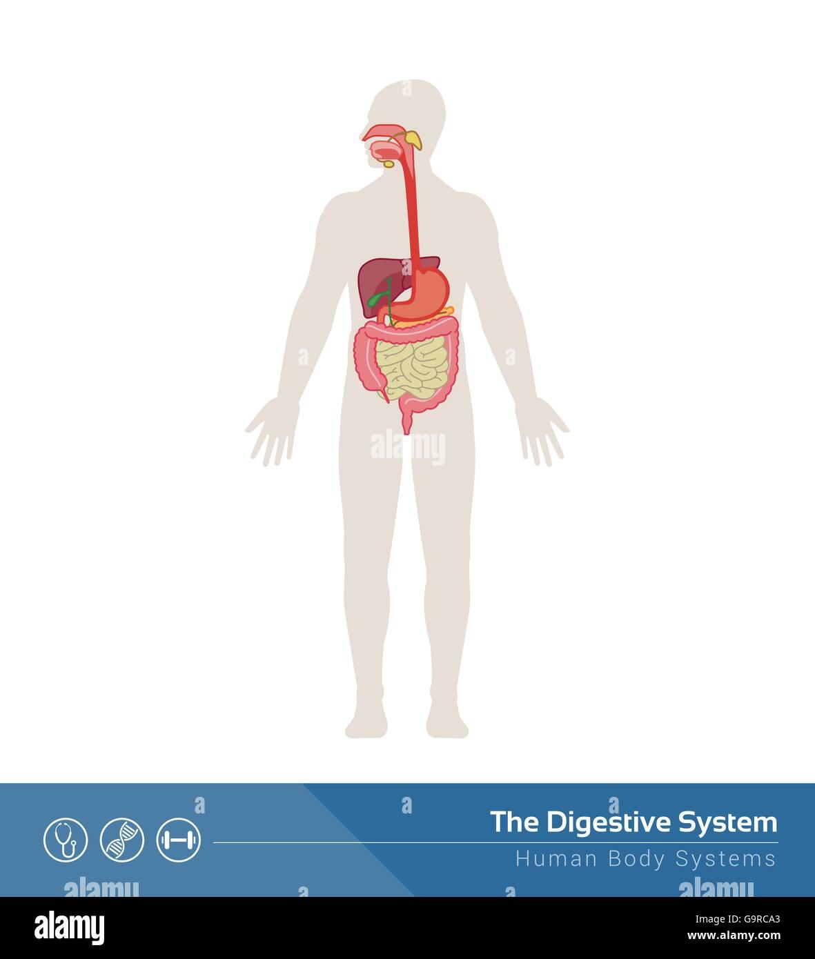 Human Body Anatomy Organs Stock Photos & Human Body Anatomy Organs ...
