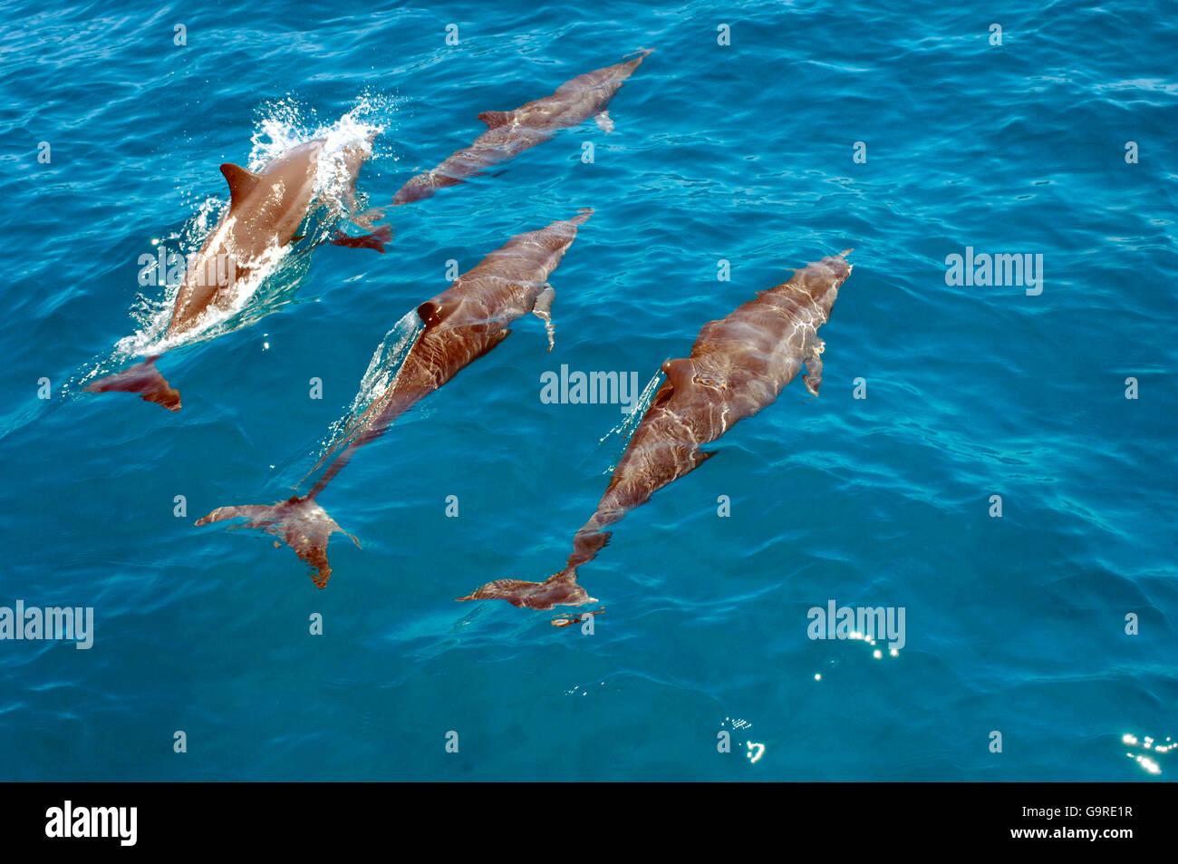 Eastern Spinner Dolphins / (Stenella longirostris) - Stock Image