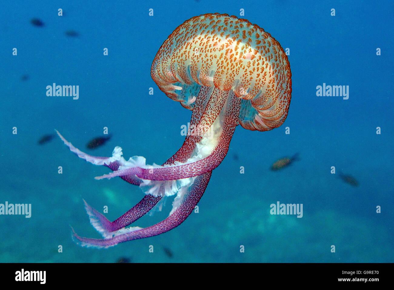 Mauve Stinge /(Pelagia noctiluca) - Stock Image