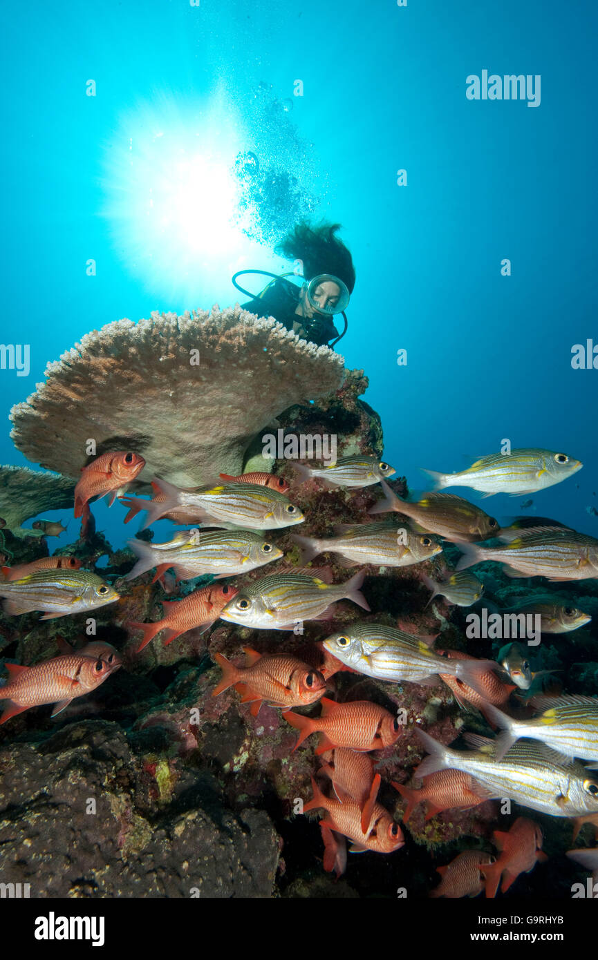 reef scene with diver and coralfish, soldierfish, yellowspot emperor, Mauritius, Africa, Indian Ocean / (Myripristis - Stock Image
