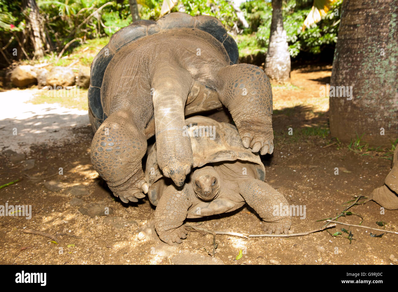 Aldabra giant tortoise, Mauritius, Africa, Indian Ocean /  (Aldabrachelys gigantea) - Stock Image