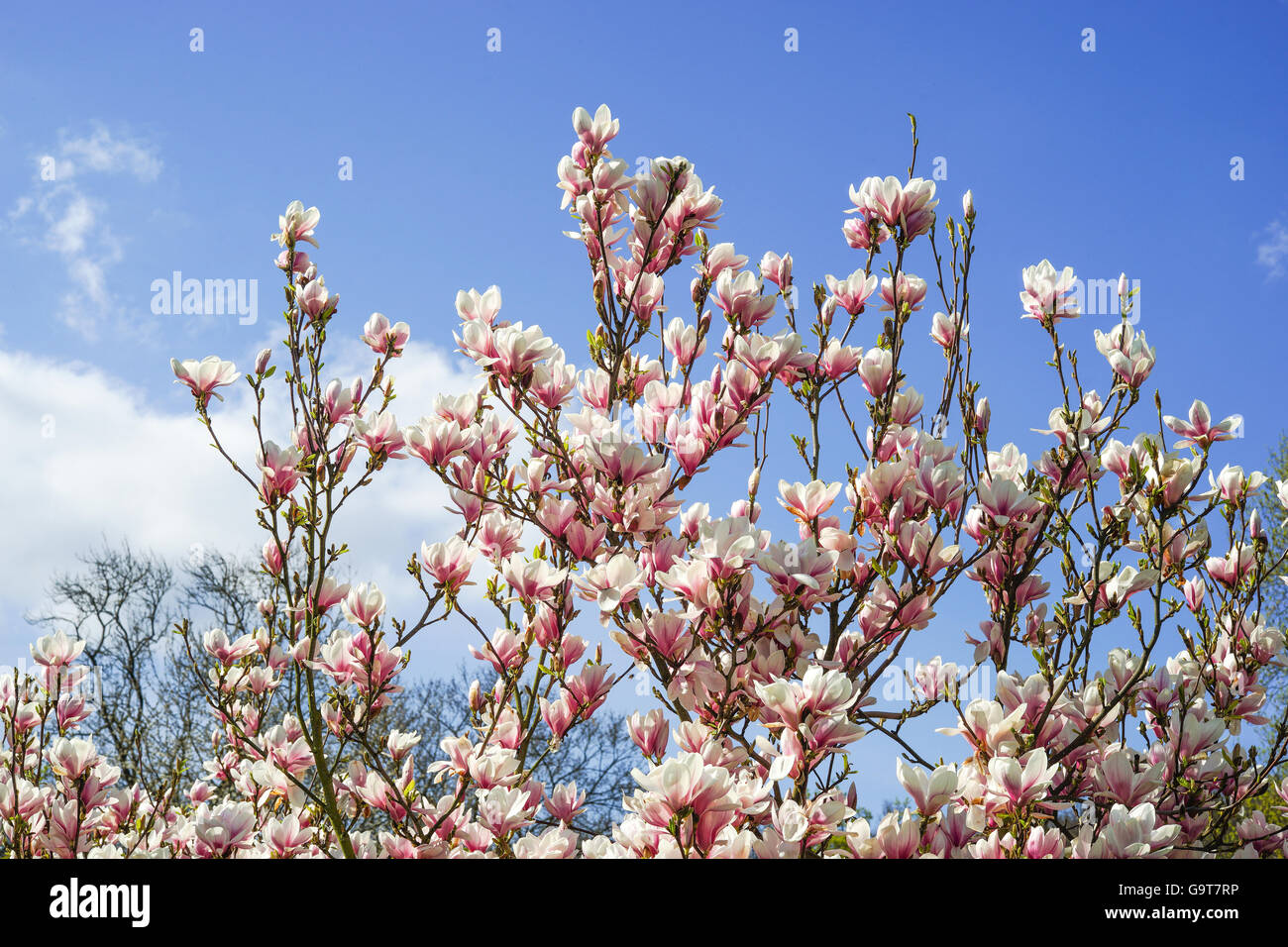 Magnolia blossom in front of blue and cloudy spring sky - Stock Image