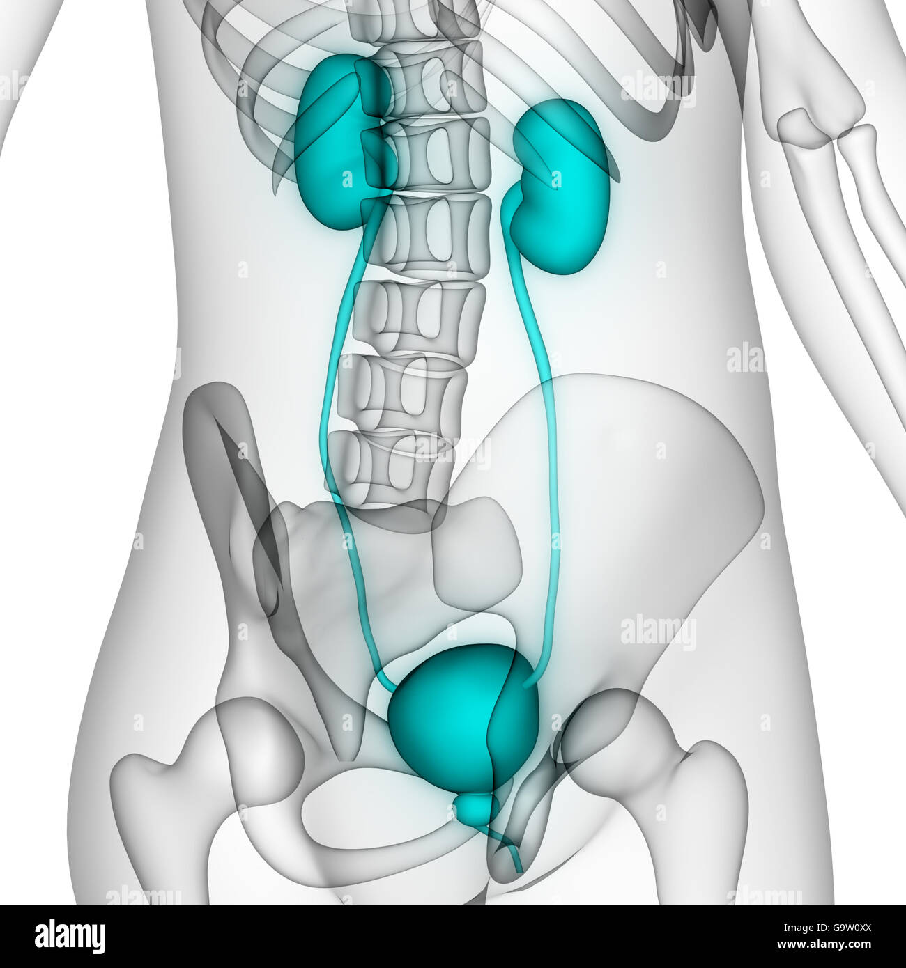Human Kidney Anatomy Stock Photos Human Kidney Anatomy Stock