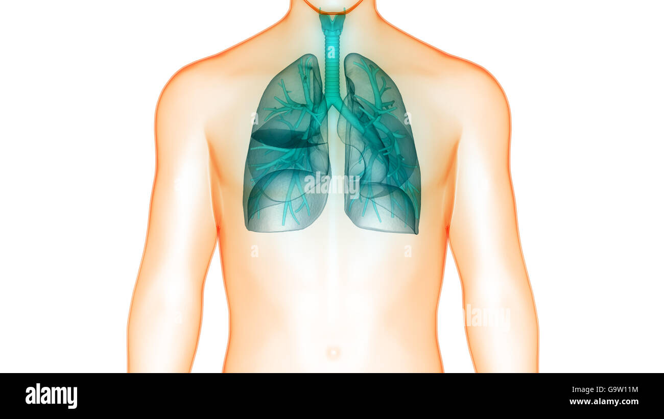 Human Body Organs (Lungs Anatomy) - Stock Image