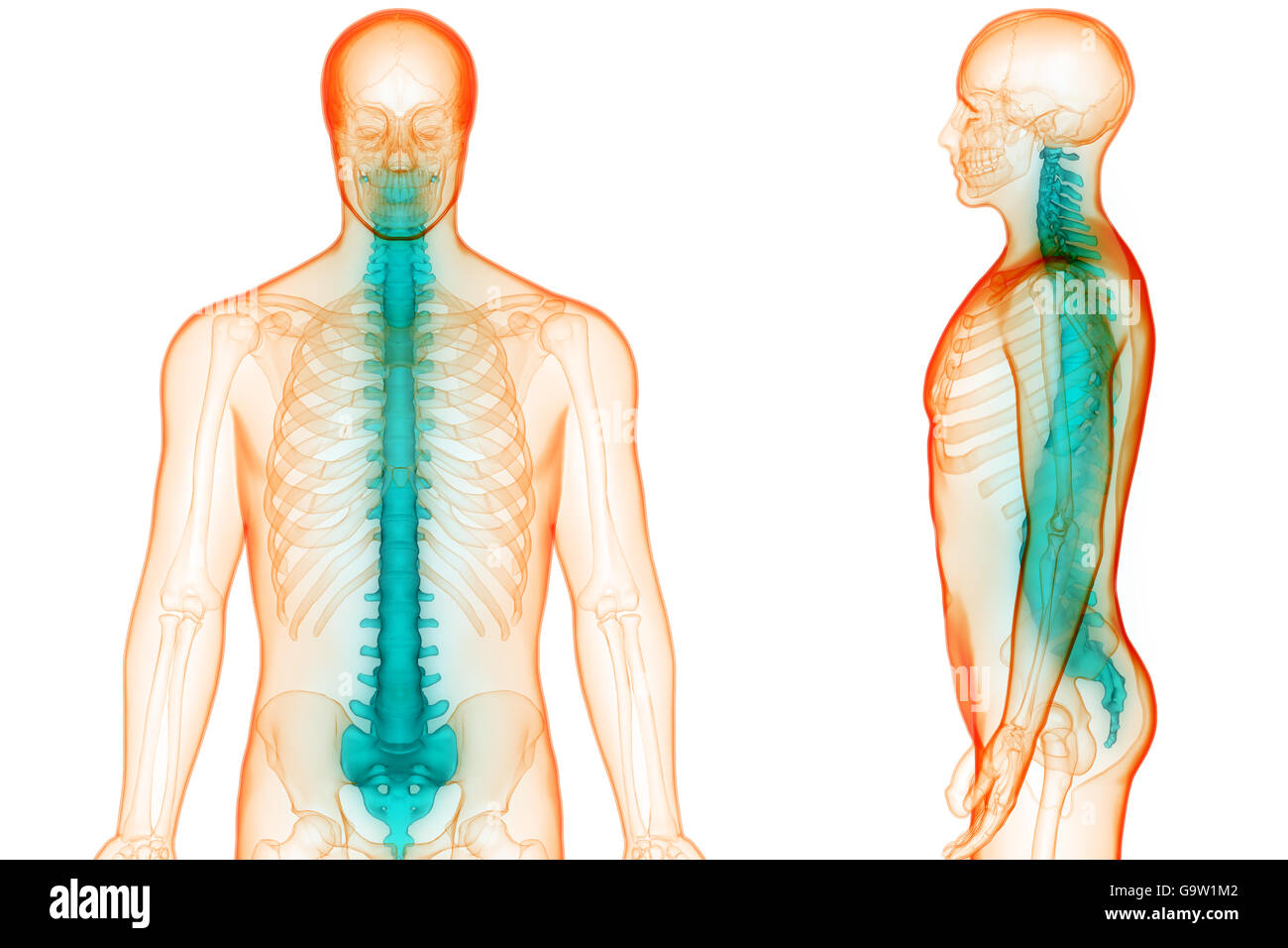 3d Spine Stock Photos 3d Spine Stock Images Alamy
