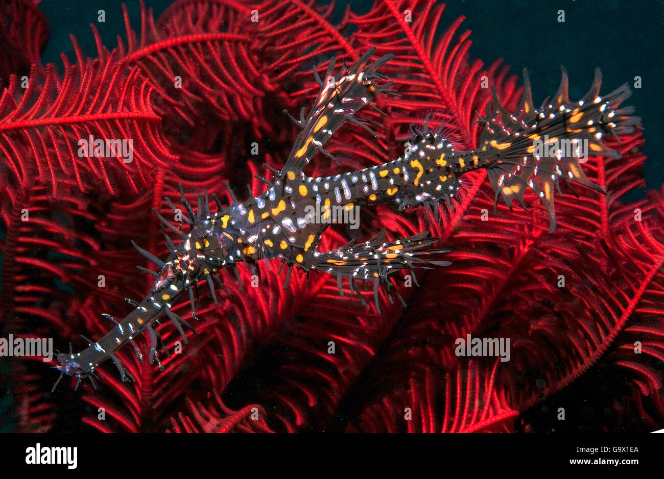 Harlequin Ghostpipefish, Ornate ghostpipefish / (Solenostomus paradoxus) - Stock Image