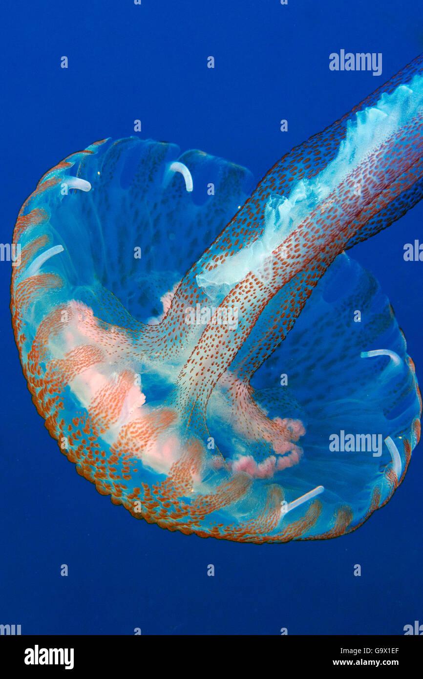 Mauve Stinger, jellyfish, mediterranean, atlantic / (Pelagia noctiluca) - Stock Image