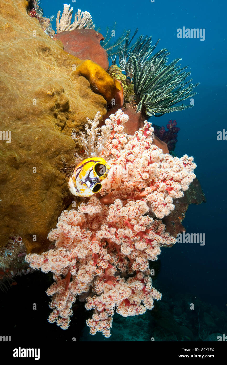 softcoral, hardcoral, featherstar and ox-heart ascidian, Halmahera, Molukkes, Indonesia, Asia, Pacific / (Cenometra - Stock Image