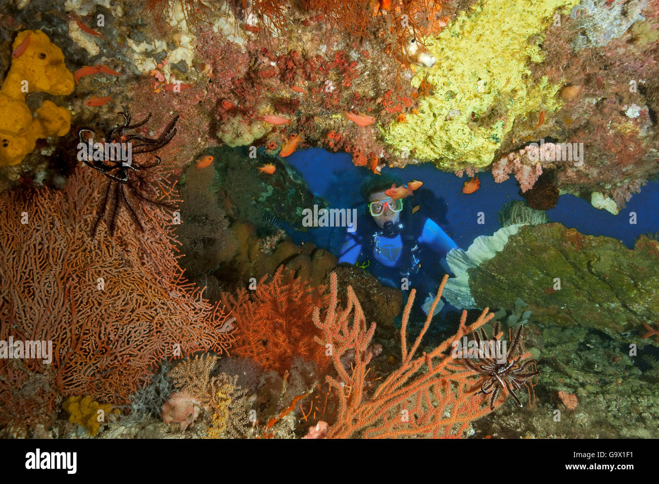 Diver with softcoral, hardcoral, featherstar and anthias, Molukkes, Indonesia, Asia, Pacific / (Cenometra bella), - Stock Image