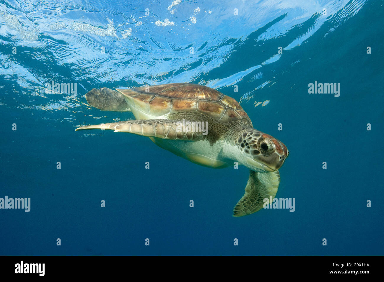 hawksbill sea turtle, Canary Islands, Spain,  Europe, Atlantic / (Eretmochelys imbricata) - Stock Image