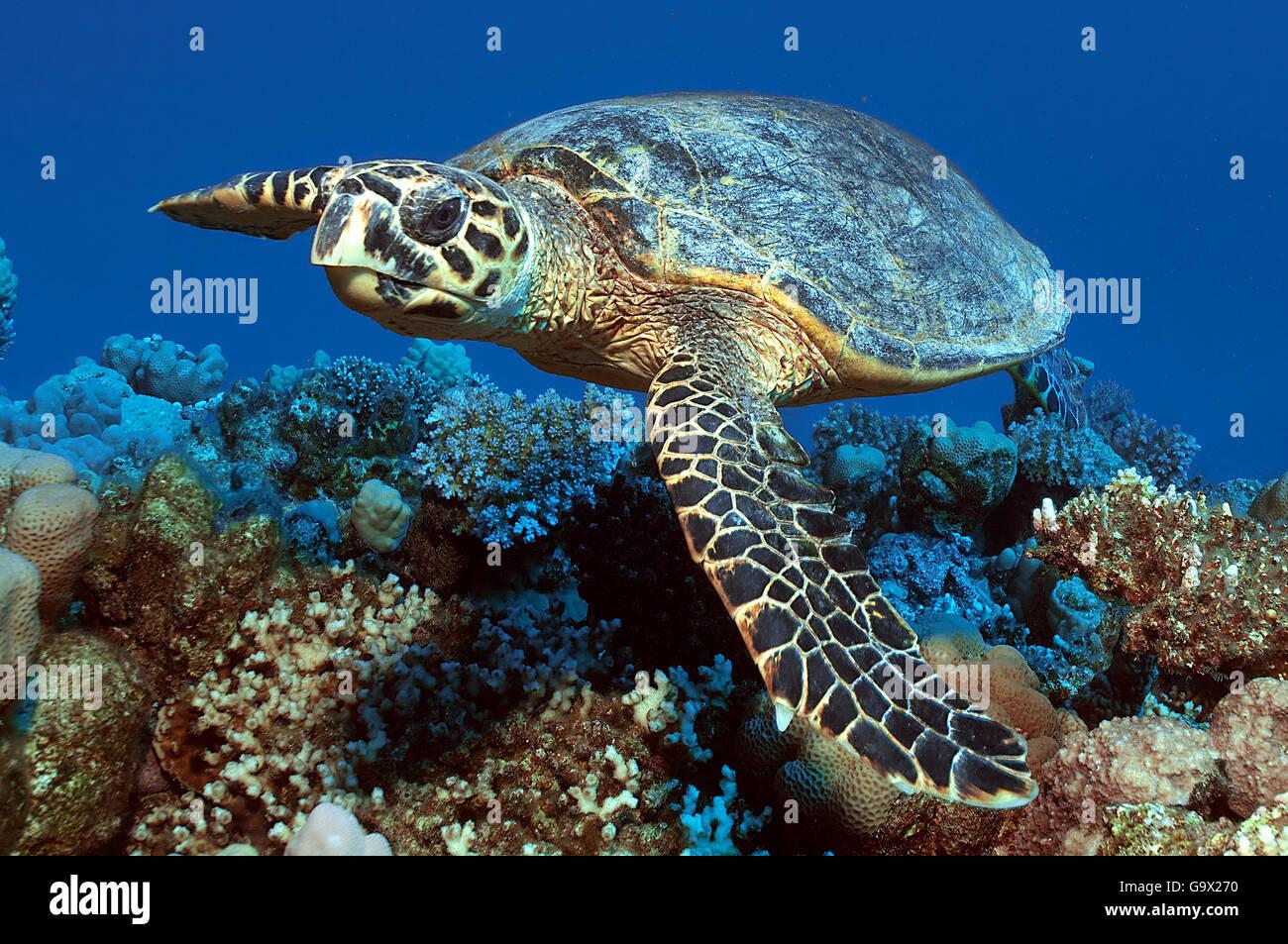 hawksbill sea turtle, Port Ras Ghalib, Egypt, Africa, Red Sea / (Eretmochelys imbricata) - Stock Image