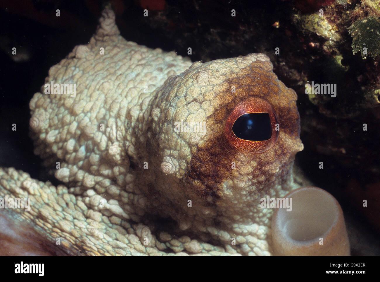Octopus, balearic islands, Spain, Europe,  mediterranean sea / (Octopus vulgaris) - Stock Image