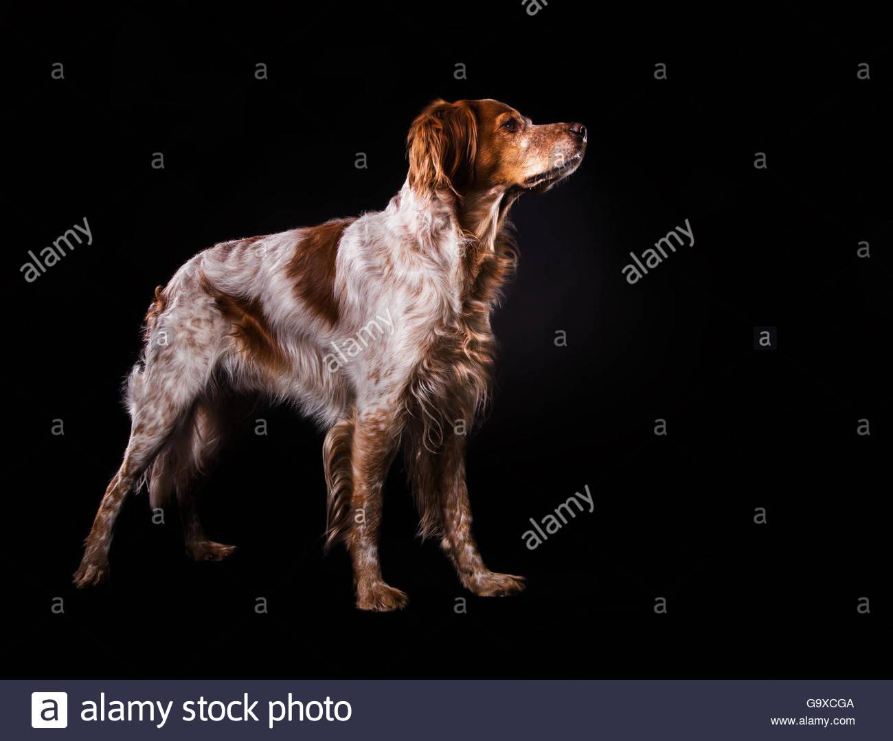Studioshot from Epagneul Breton dog standing sideprofile - Stock Image